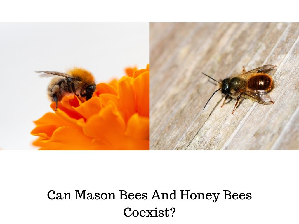 Can Mason Bees And Honey Bees Coexist_ new