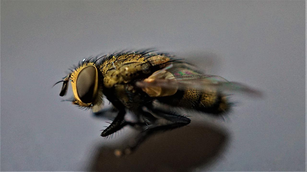 Housefly Flying