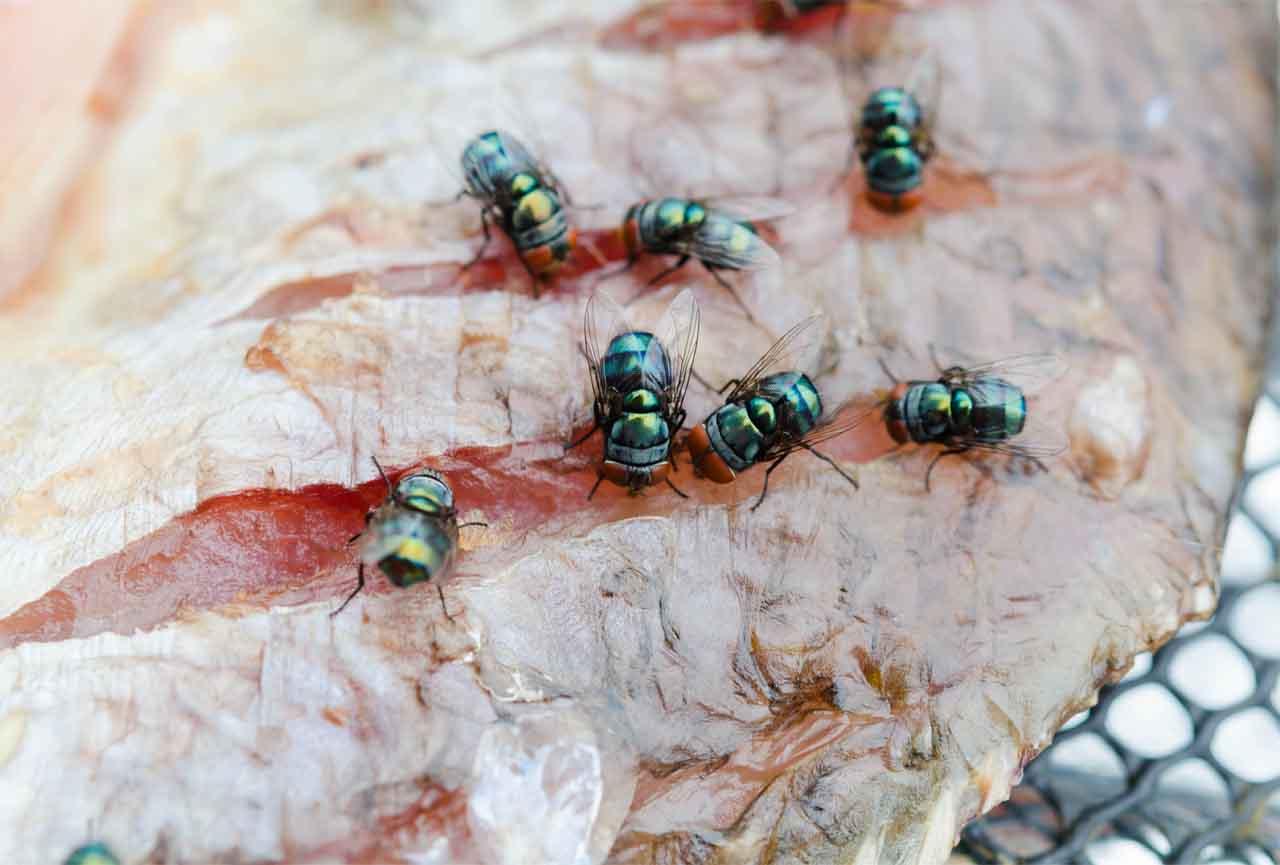 Flies Eating