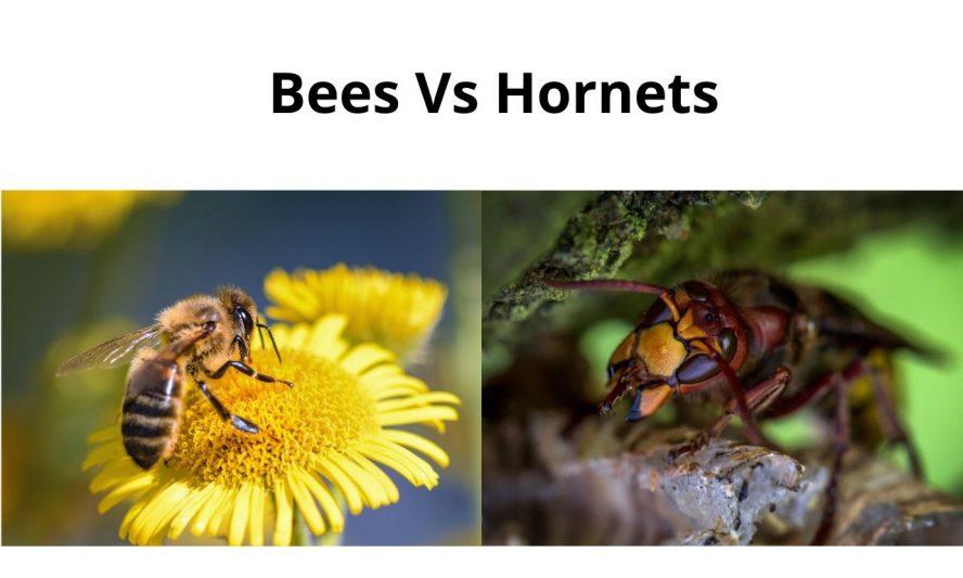Bees Vs Hornets