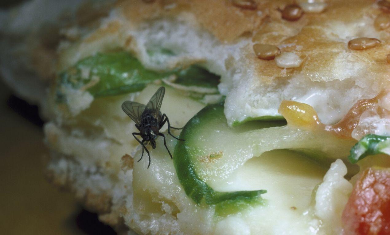 Housefly Eating