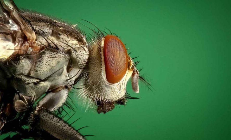 Flies Eyes real