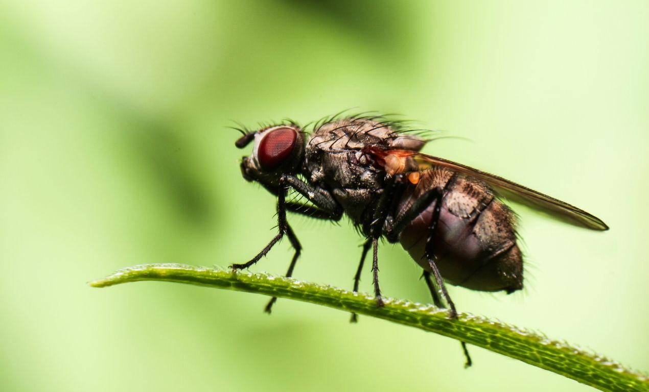 Housefly lenses