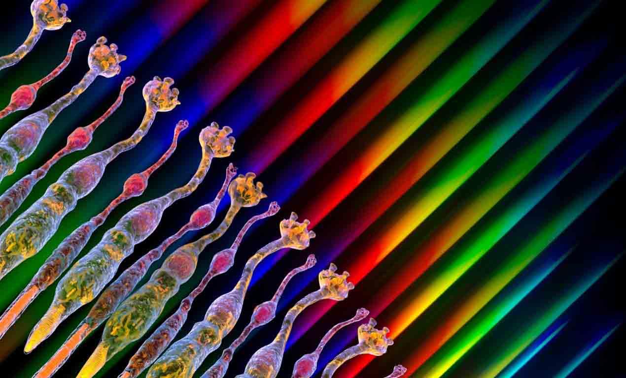 Microvillar Photoreceptor Cells real
