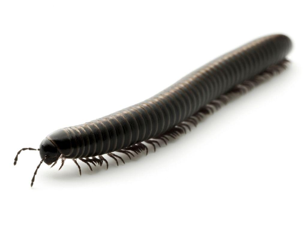 Millipede Structure