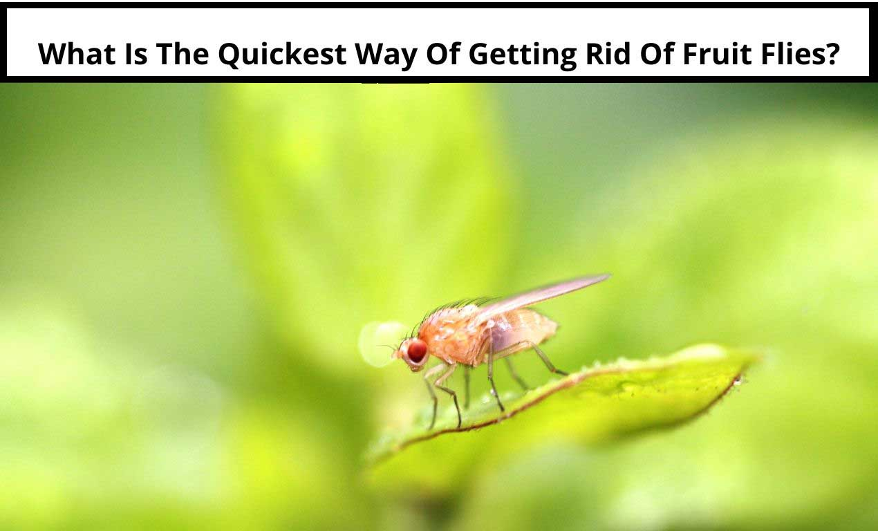 What Is The Quickest Way Of Getting Rid Of Fruit Flies_original