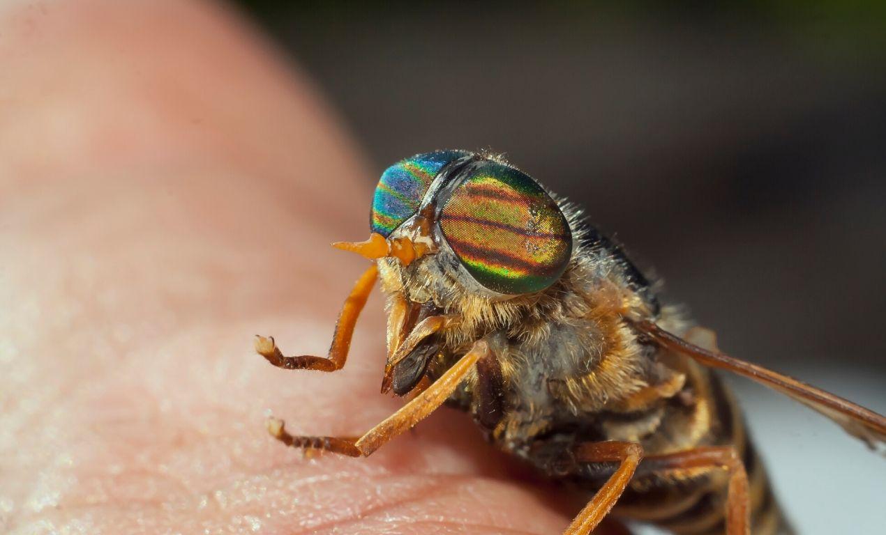 horsefly