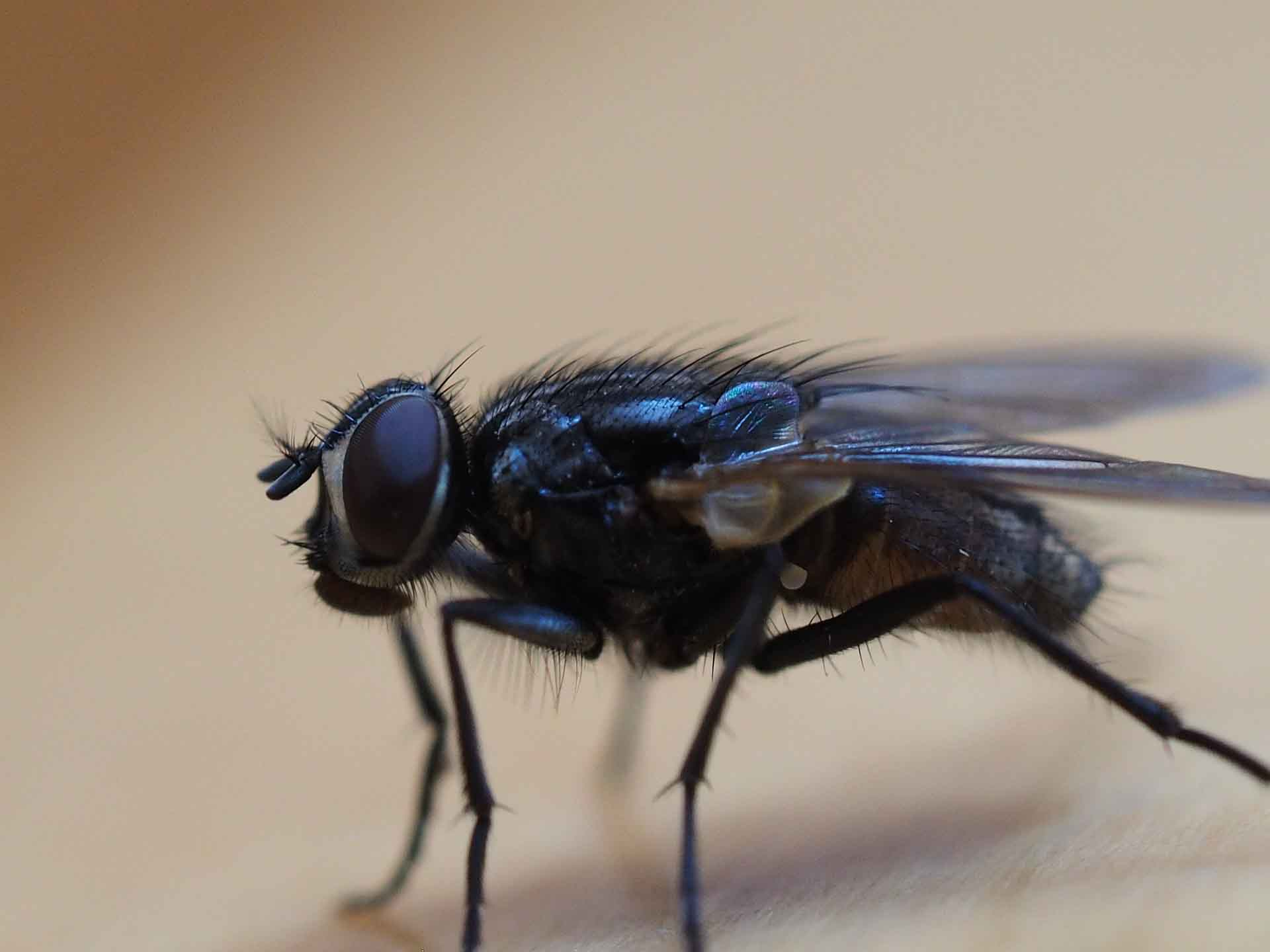 housefly eyes real