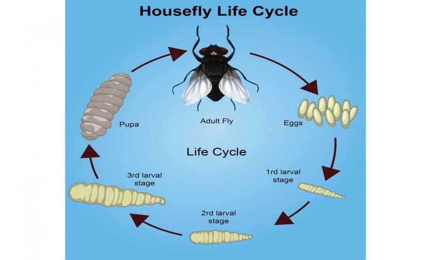 houseflylifecycle