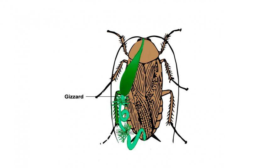 cockroach gizzard