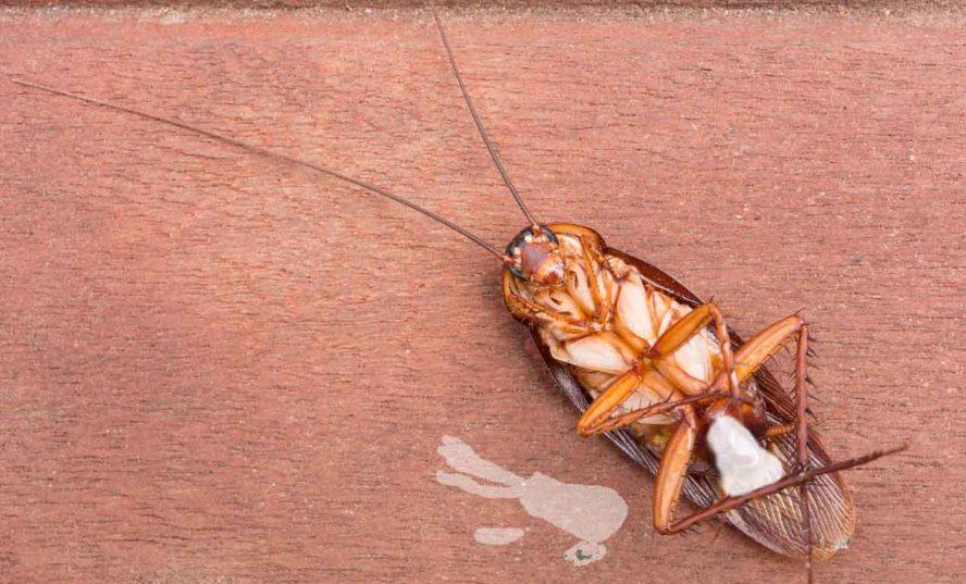 cockroach bleed