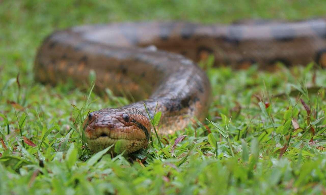 Anaconda Heaviest Non Venomous Snake