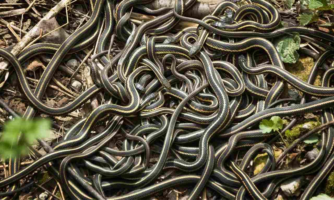Male Garter Snake Competing For Female