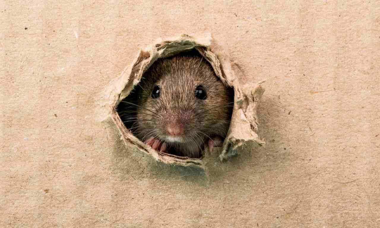 Rats Biting Cardboard