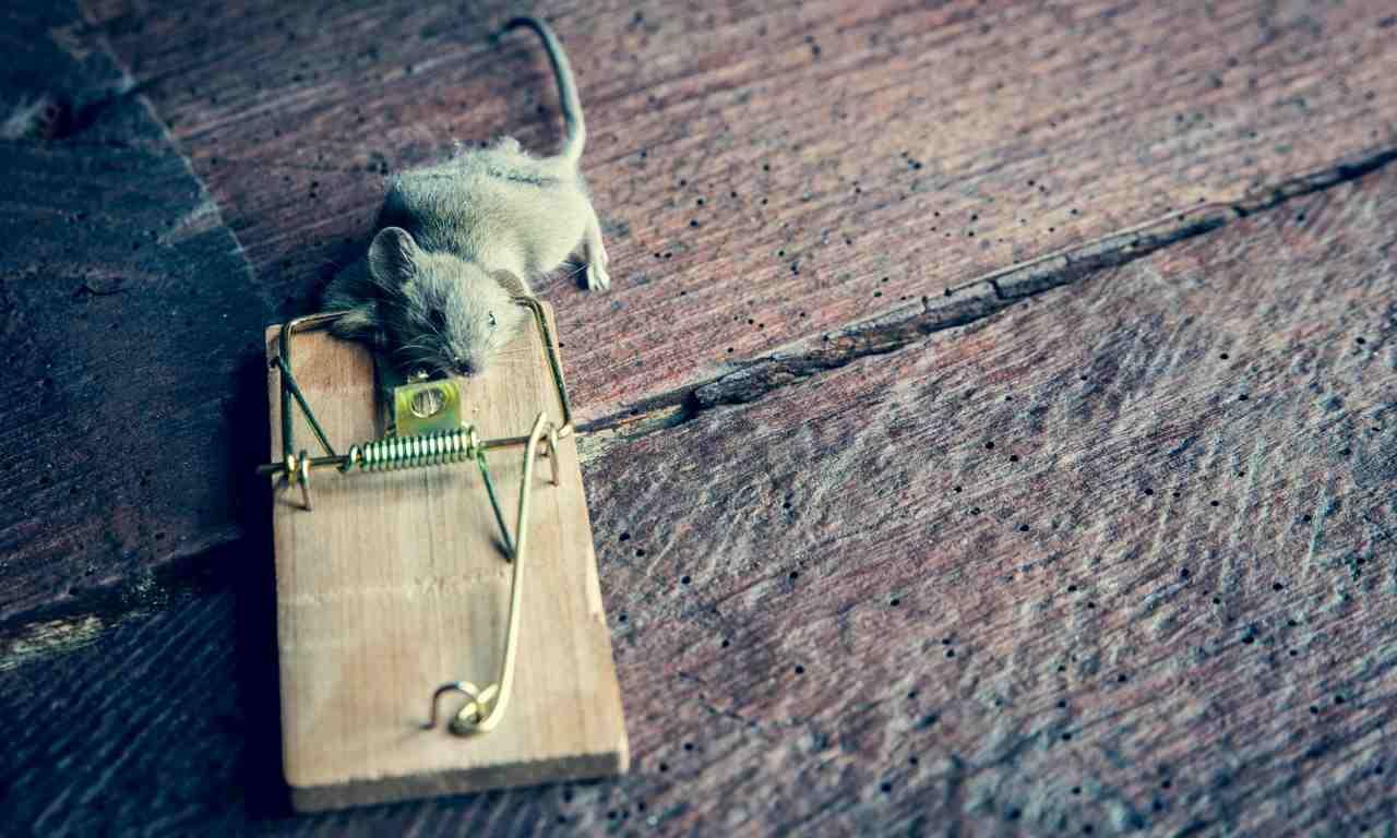 Spring Rat Trap