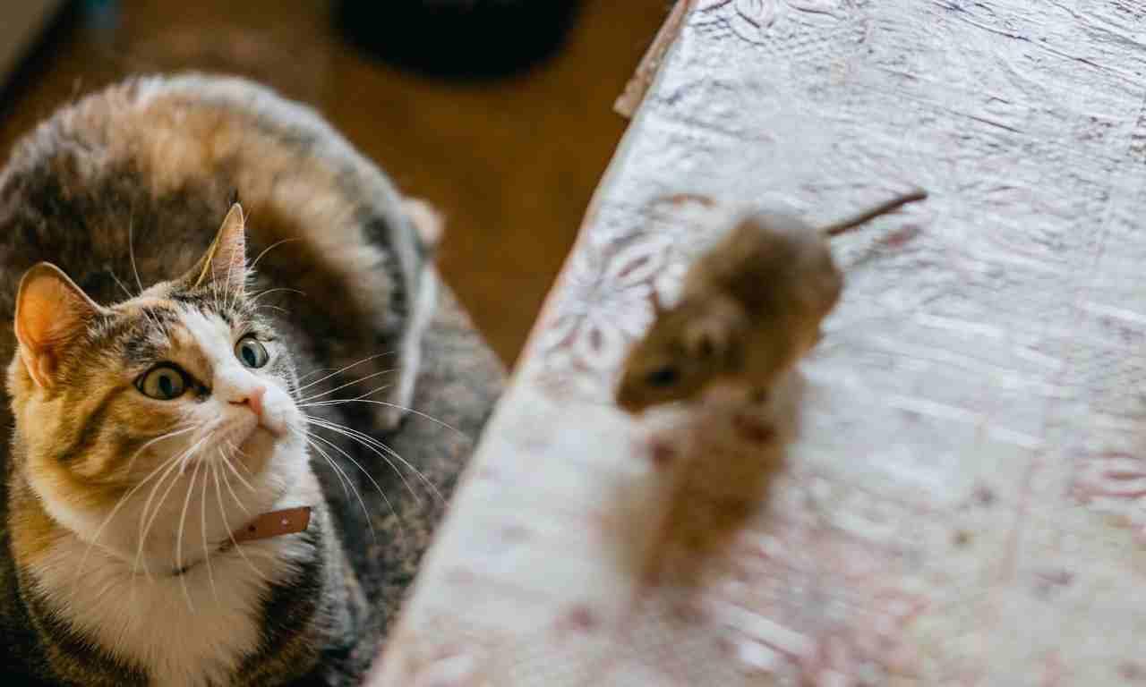 cat chasing rat