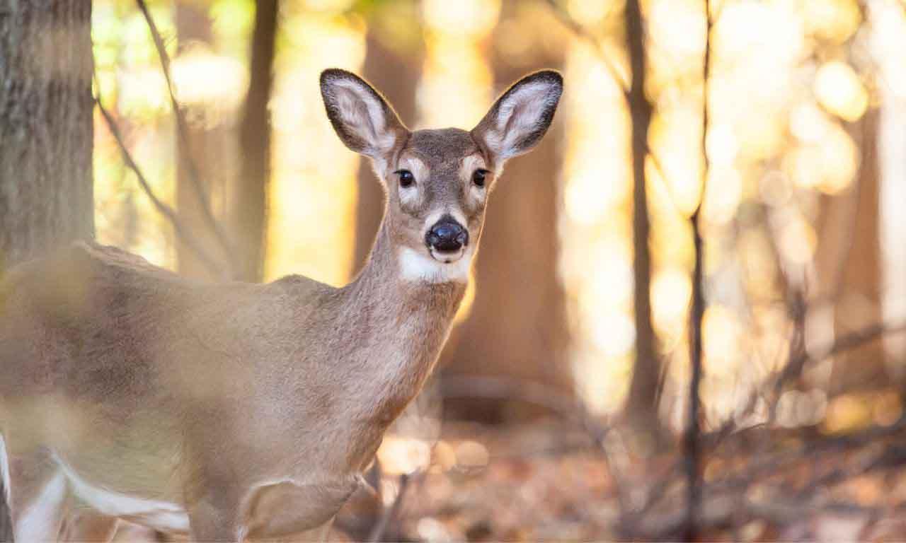 Deer real