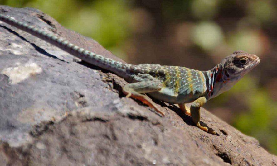 Lizard Jump