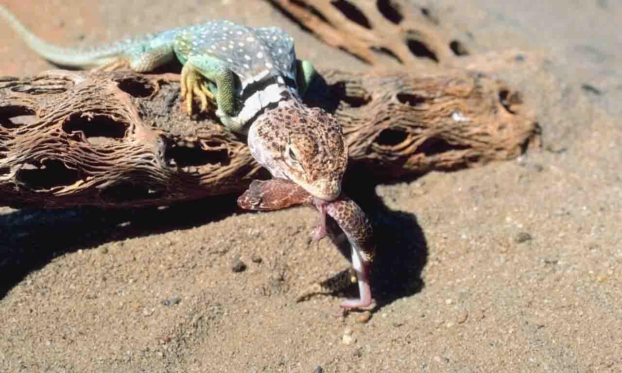 Lizard eat another lizard