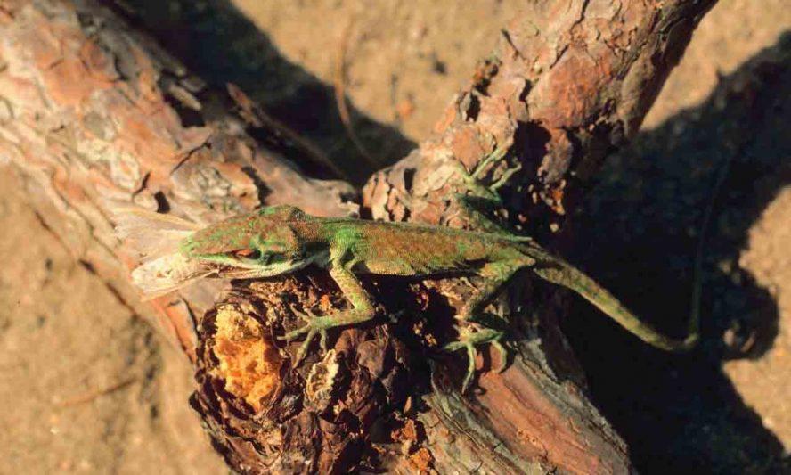 Lizard Eating