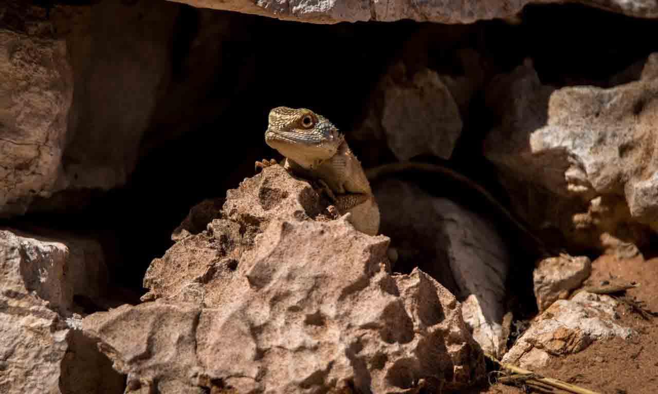 Lizard hiding