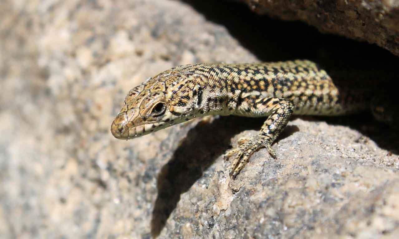 lizard hiding under stone