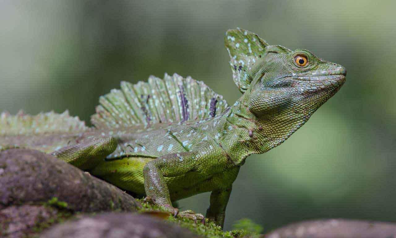 Common basilisk real (Jesus Lizard)