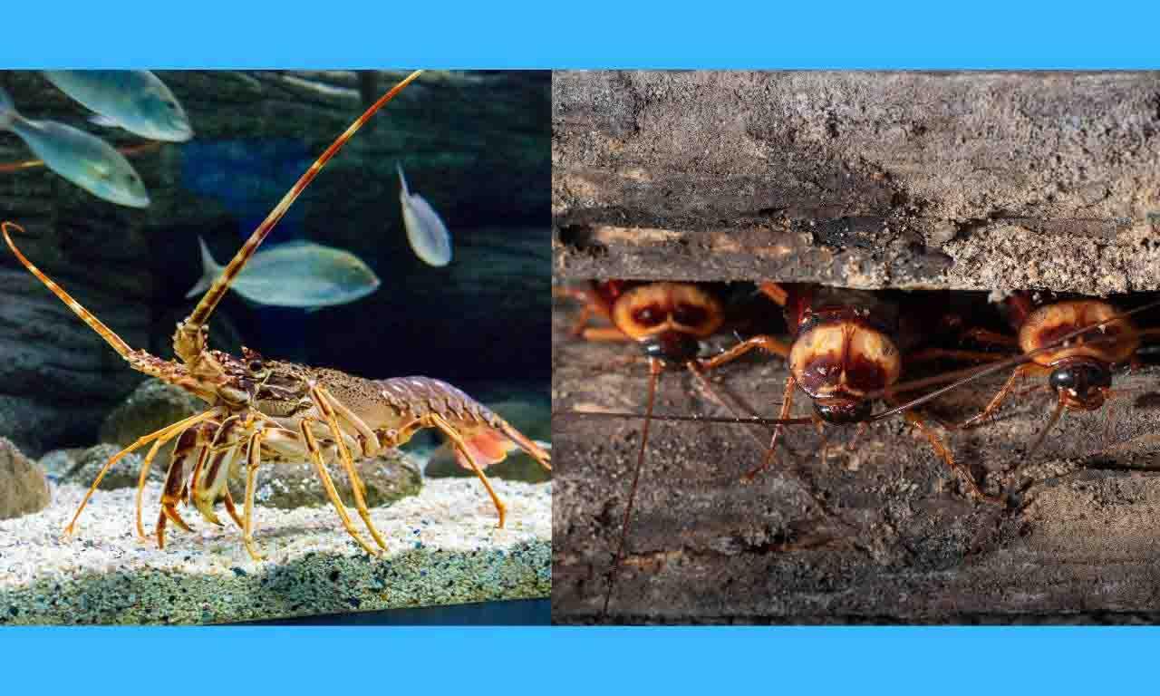 lobster andc ockroach habitat