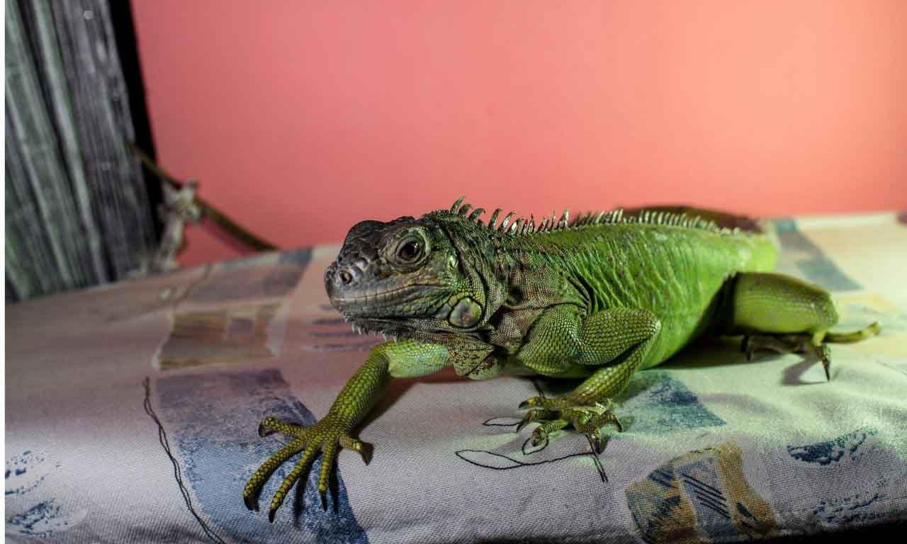 Lizards in bed