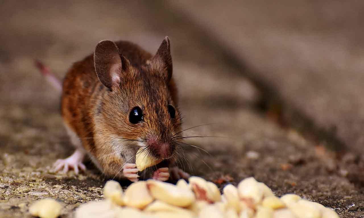 mouse eating food in dark