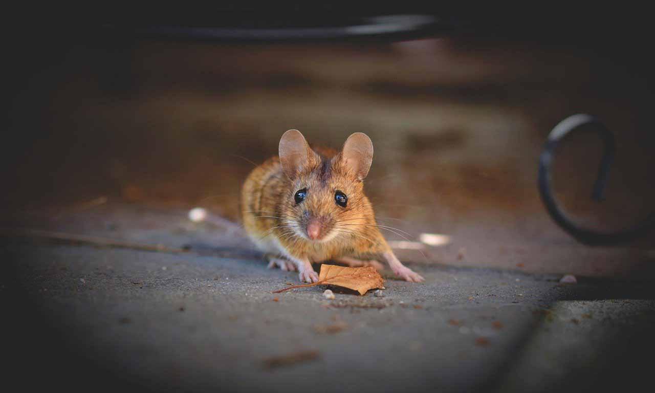 mouseatnight