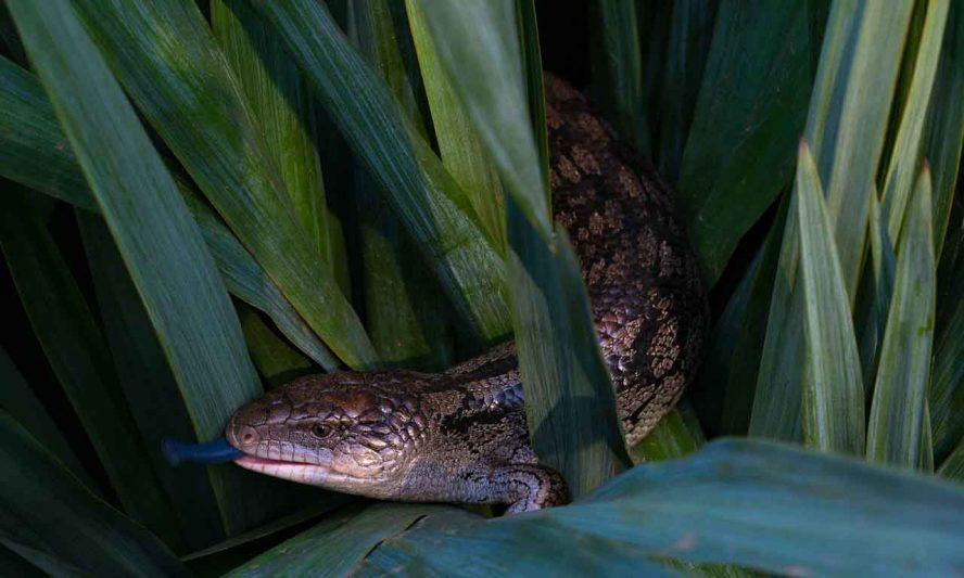 lizard smelling
