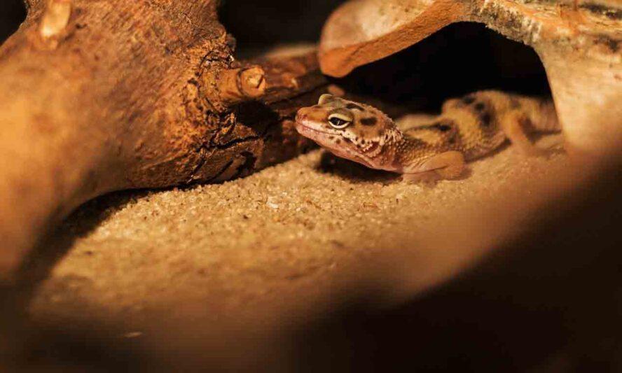 Do Lizards Crawl At Night