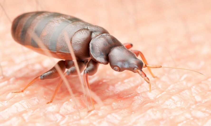 Why Bed Bugs Drink Blood