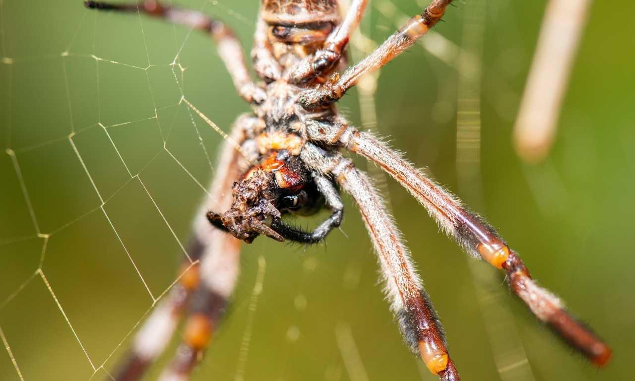 Australian garden orb spider