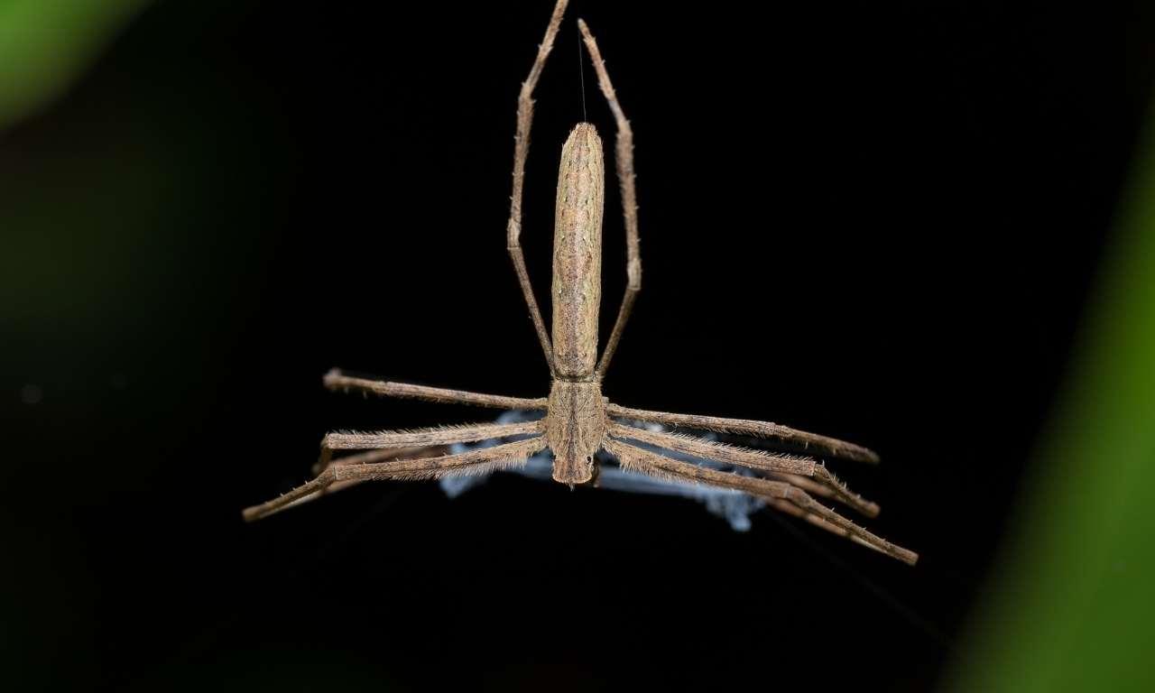 Ogre faced spider