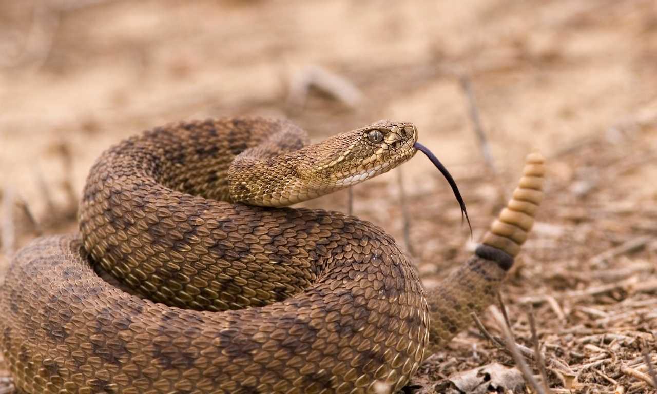 Rattlesnake scent